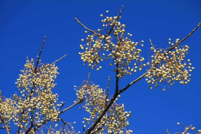 Jotain marjoja ylhäällä puussa. Mutta taivas on sininen :)