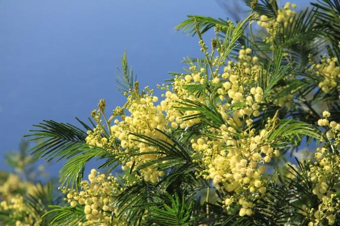 Puuta sanotaan Mimosaksi, mutta on kuulemma akaakioiden sukua.