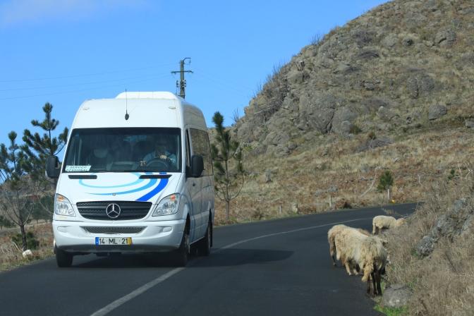 En tiedä mihin olivat lampaat matkalla, mutta autolla eivät sinne päässeet...