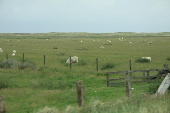 Käytiin kääntämäsä bussi niemen nokassa ja siellä oli lampaita silmänkantamattomiin.