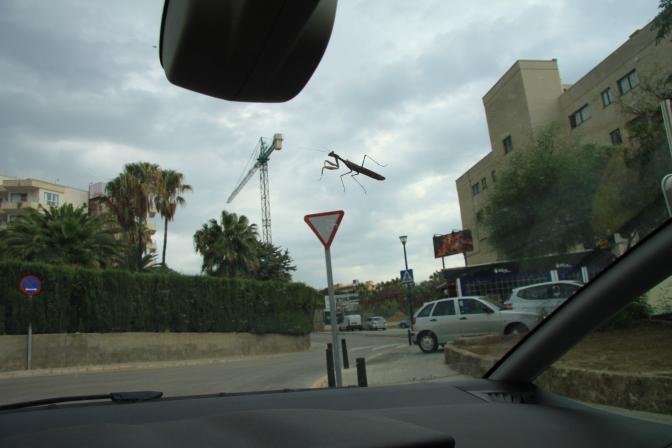Automme tuulilasin ulkopuolella oli tämä 5-6 cm pitkä veijari, kun aamulla lähdimme liikkeelle.