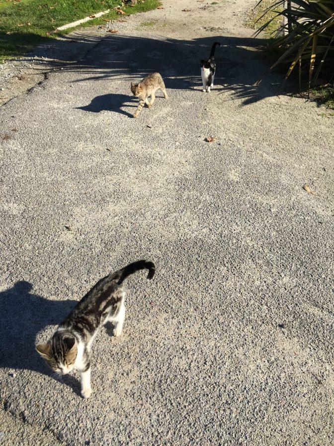 Aamulenkkini seuralaiset. Näyttivät oikein kiiltäväturkkisilta ja hyvinvoivilta eli luulisin kissojen olevan alueen omia.